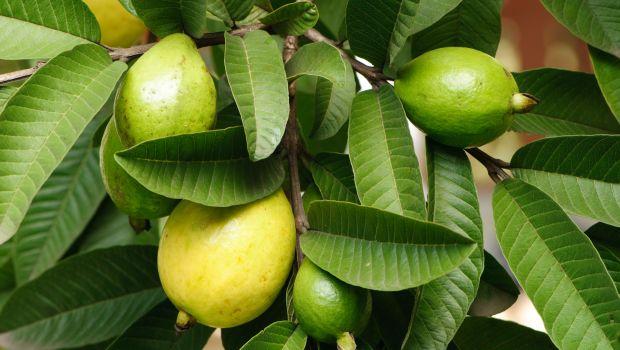 12 полезных свойств листьев гуавы для лечения диабета