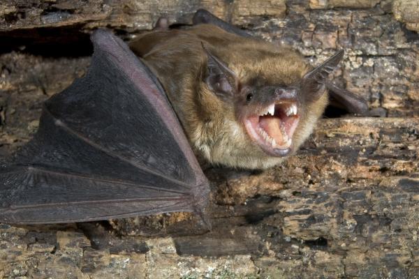 Как избавиться от летучих мышей: бешенство и другие болезни от укуса, прочий вред