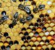 Польза от пчелиного хлеба (пчелиной перги) – факты о составе и не только