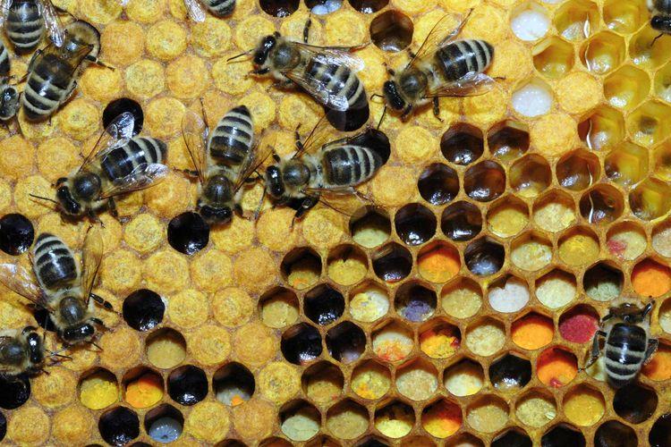 пчелиного