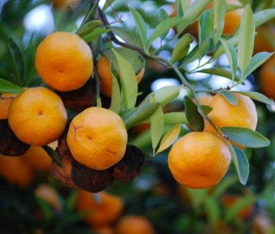 11 полезных свойствах африканского вишнёвого апельсина
