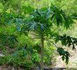 10 Преимуществ чая из листьев папайи – #1 народная медицина травами