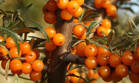 Sea-buckthorn-berries-