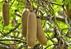 sausage tree cream