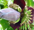 Польза использования бананового цветка во время беременности
