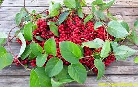 limonika berry