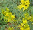 12 преимуществ листьев сенны для быстрой потери веса