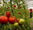 Преимущества томатов в бодибилдинге (Супер Фуд)