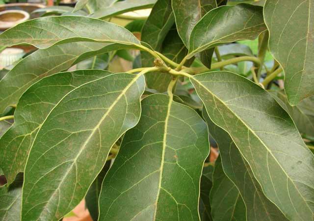 Преимущества листьев авокадо для лечения рака