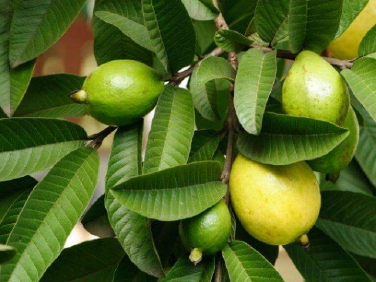 guava leaves for mouth ulcers