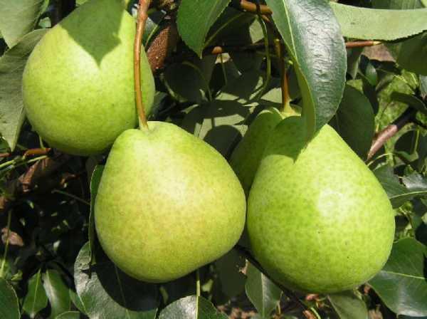 granny pear
