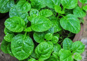 Польза от Amunututu для здоровья (№ 1 нигерийский листовой овощ)