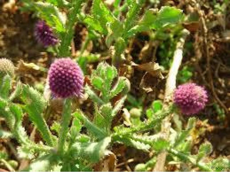 Польза для здоровья Горакхмунди (расторопша) – мощная аюрведическая трава