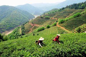 jiangxi tea