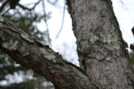 Польза старой индийской коры дикого вишневого для вашего здоровья
