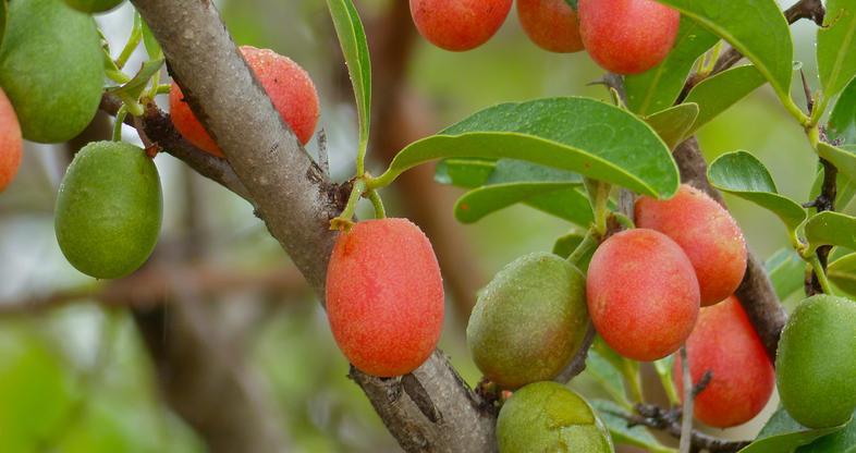medicinal african plum