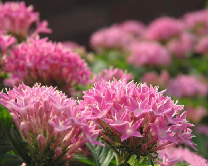 pink rhodiola