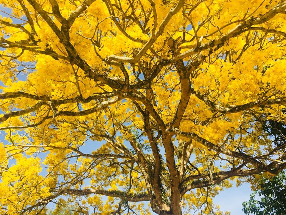 yellow trees