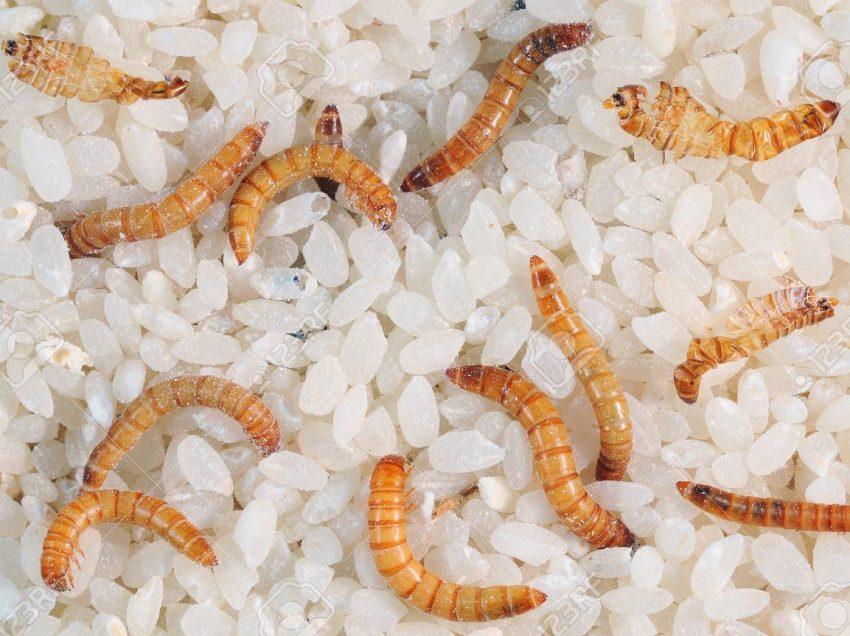 Польза для здоровья мучных червей, в которые вы можете поверить